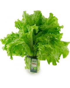Earth - Black Seed Lettuce