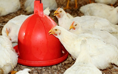 The Free-Range Chicken Deception